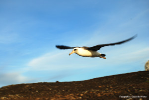 Albatros de Laysan (Phoebastria immutabilis)
