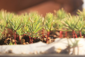 Plántula de Ciprés de Guadalupe (Cupressus guadalupensis)