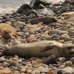 Hembras de descansando en playa rocosa. Fotografia Veronica Morales. Archivo CONANP